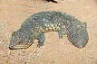 Shingleback Lizard 1